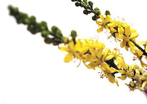 Nos Fleurs de Bach - Agrimony - Aigremoine