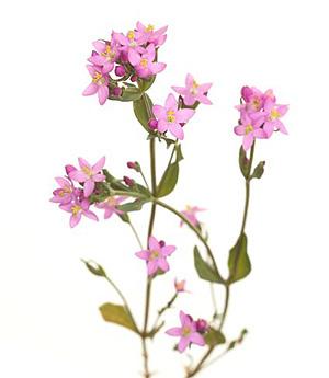Nos Fleurs de Bach - Centaury - Centauree