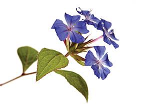 Nos Fleurs de Bach - Cerato - Plumbago