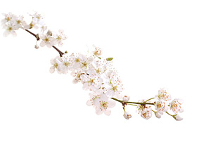 Nos Fleurs de Bach - Cherry Plum - Prunier Myrobolan