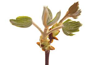 Nos Fleurs de Bach - Chestnut Bud - Bourgeon du marronnier