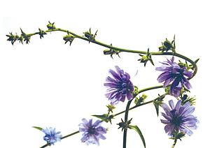 Nos Fleurs de Bach - Chicory - Chicoree