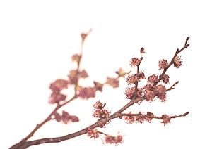 11 Elm Orme Nos Fleurs De Bach