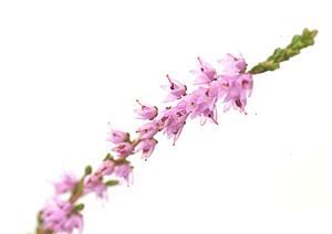 Nos Fleurs de Bach - Heather - Bruyere