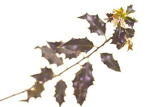 Nos Fleurs de Bach - Holly - houx