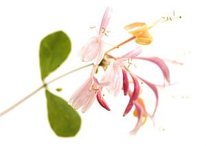 Nos Fleurs de Bach - Honeysuckle - Chevrefeuille