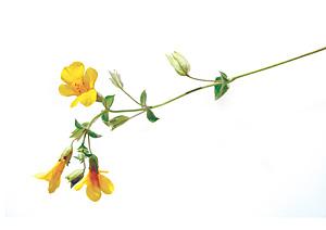 Nos Fleurs de Bach - Mimulus - Mimule