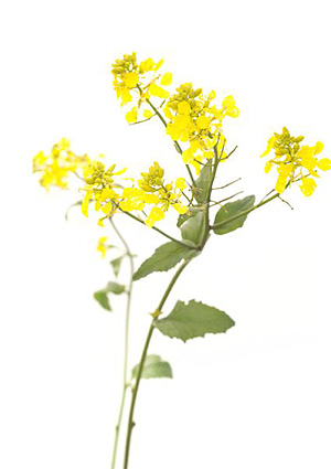 Nos Fleurs de Bach - Mustard - Moutarde