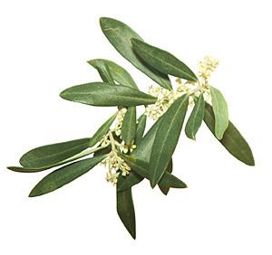 Nos Fleurs de Bach - Olive - Olive