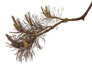 Nos Fleurs de Bach - Pine - Pin Sylvestre