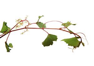 Nos Fleurs de Bach - Vine - Vigne