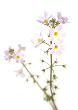 Nos Fleurs de Bach - Water Violet - Violette d'eau