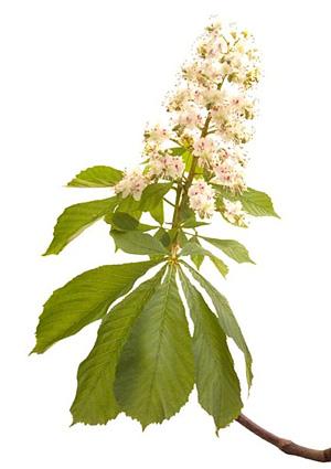 Nos Fleurs de Bach - White chestnut - Marronier blanc